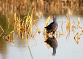 Gallinule Stock Images