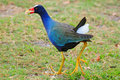 Gallinule with crumb Royalty Free Stock Image