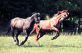 Gallop horses Stock Photos