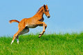 Galloping chestnut foal in summer field cute Royalty Free Stock Photo