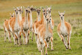 Galloping gaunacos small herd of bachelor guanacos across grassy meadow Stock Photos