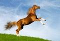каштан gallops лошадь Стоковое фото RF