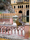 Galta ji mandir temple india monkey in near jaipur Stock Images