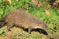 Gambian mongoose the strolling in the soil Stock Images