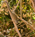 Gambian Sun Squirrel Stock Image