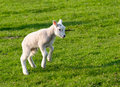 Gambolling lamb Royalty Free Stock Photo