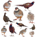 Game birds in front of white background Stock Photo
