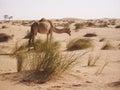Gamel in Sahara desert Royalty Free Stock Photo