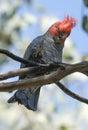 Gang gang cockatoo in southern australia Royalty Free Stock Photo