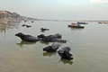 Ganga river at benaras march varanasi uttar pradesh india asia buffalo sinking in the ganges varanasi india Royalty Free Stock Photos