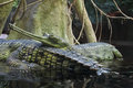 Gangetic gharials pair of indian crocodiles resting in the river Stock Photography