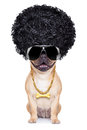 Gangster dog cool afro wit gold chain and sunglasses isolated on white background Stock Images