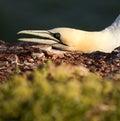 A gannet Stock Images