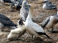 Gannet with baby bird Royalty Free Stock Images