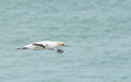 Gannet calony at muriwai beach western shore of auckland new zealand Royalty Free Stock Images