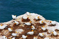 Gannet colony Stock Image