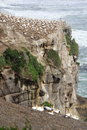 Gannet colony a cliff top new zealand Royalty Free Stock Photography