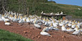 Gannet colony northern gannets nesting on red soil of the bonaventure island gaspe peninsula quebec Stock Images