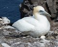 Gannet with egg a breeding on one on bassrock Stock Images