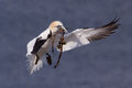 Gannet in flight Royalty Free Stock Photos