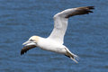 Gannet in flight above the ocean Royalty Free Stock Photography