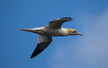 Gannet in flight flying against blue sky Royalty Free Stock Images