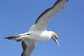 Gannet in flight a new zealand Royalty Free Stock Photography