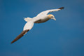 Gannet in flight a northern mous bassanus inflight along the cliff edge at bempton the east riding of yorkshire Stock Photography