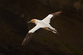 Gannet in flight northern sailing with beautiful spread out wings Stock Photo