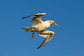 A gannet is flying Royalty Free Stock Photography