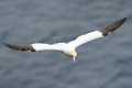 Gannet flying above the ocean Royalty Free Stock Photography