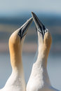 Gannet love bonding birds taken on the bass rock scotland Royalty Free Stock Image