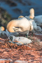 Gannet mother with its chick at Helgoland island in North Sea Royalty Free Stock Photo
