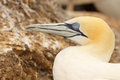 Gannet On Nest Royalty Free Stock Photo
