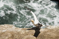 A gannet perches on the cliff top new zealand amongst colony stretching its wings Stock Photos