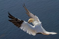 Gannet preparing to land on a cliff Royalty Free Stock Photography