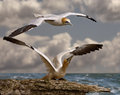 Gannet ready for take off a female northern about to and fly with her mate Royalty Free Stock Photo