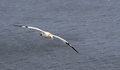 Gannet from sea bird colony at bempton cliffs Royalty Free Stock Photo