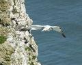 Gannet seabird in flight wild northern morus bassanus off english coastline Stock Photos