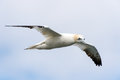 Gannet soaring through cloudy sky Royalty Free Stock Photography