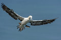 Gannet soaring through cloudy sky Royalty Free Stock Image