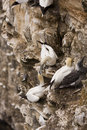 Gannet at Troup Head Stock Photography