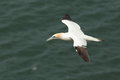 Gannet view of a in flight against a blurred background Stock Images