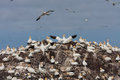 Gannets on bass rock the home to over scotland uk Stock Image