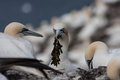Gannets on bass rock the home to over scotland uk Royalty Free Stock Image