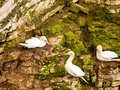 Gannets on cliffs at bempton bridlington north yorkshire uk Royalty Free Stock Photo