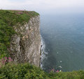 Gannets flying of the colony on the cliff on the north sea in east coast of britain Royalty Free Stock Image
