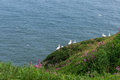 Gannets group on nesting on the green grass and some magenta blossoming flowers in east coast of britain Royalty Free Stock Photo