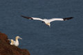 Gannets nesting in the cliffs with another gannet ready to land when one moves trying nest on a cliff ledge of rspb bempton Royalty Free Stock Photos