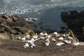 Gannets nesting on steep cliffs above muriwai beach in new zealand Stock Image
